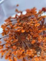 Сухоцветы №6 (оранжевые)
